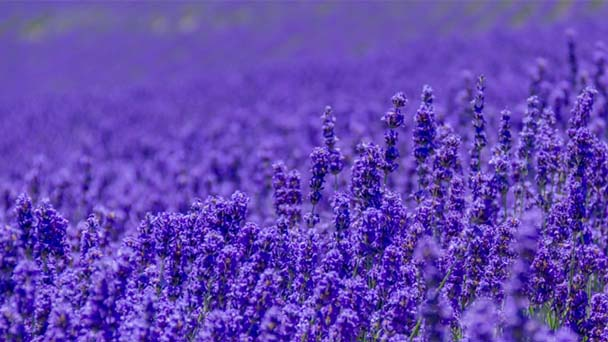 Lavender Profile