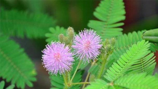 Mimosa Profile
