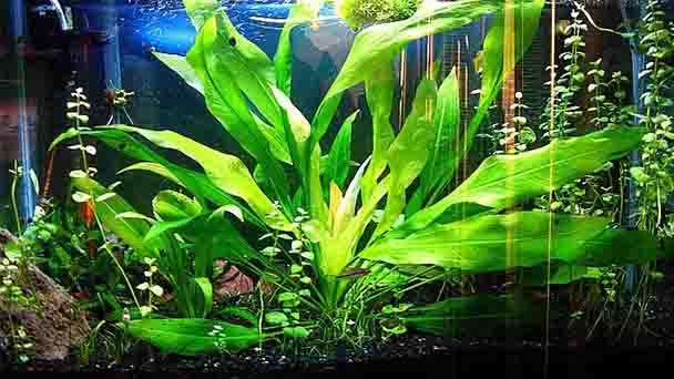 Amazon Sword PlantProfile