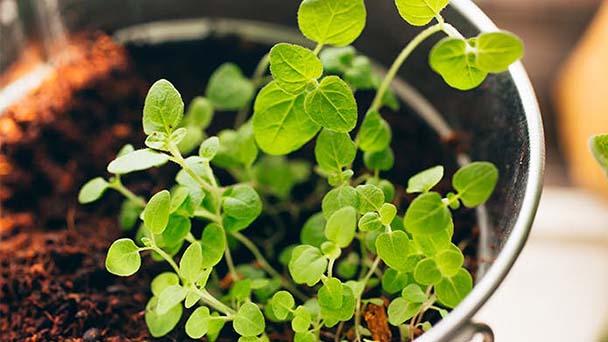 Precaution for best herbs to grow indoors