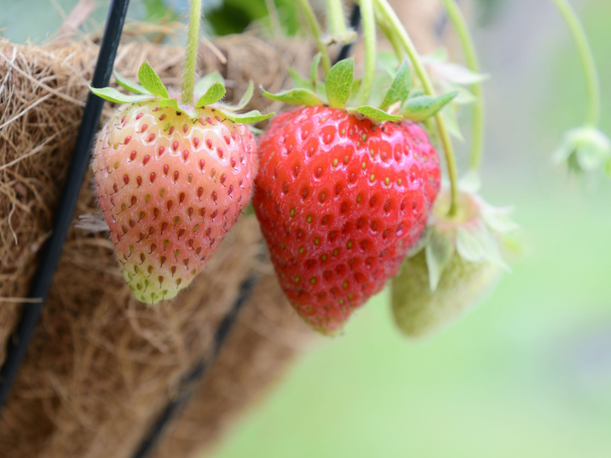 best way to grow strawberries