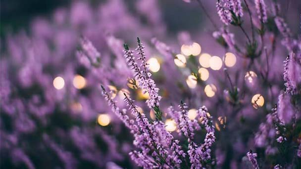 Tips for growing lavender indoors
