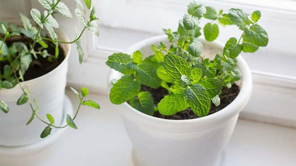 Tips for growing Mint indoors