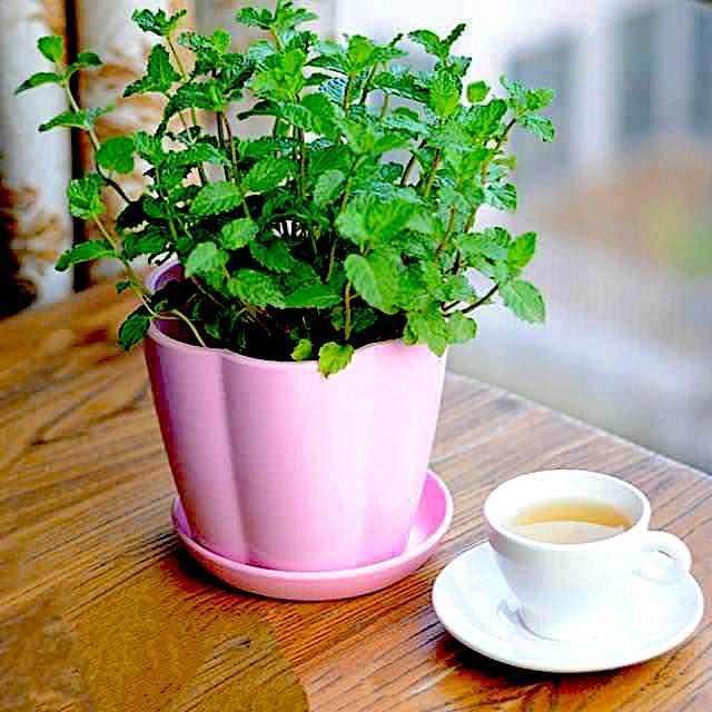 growing mint indoors