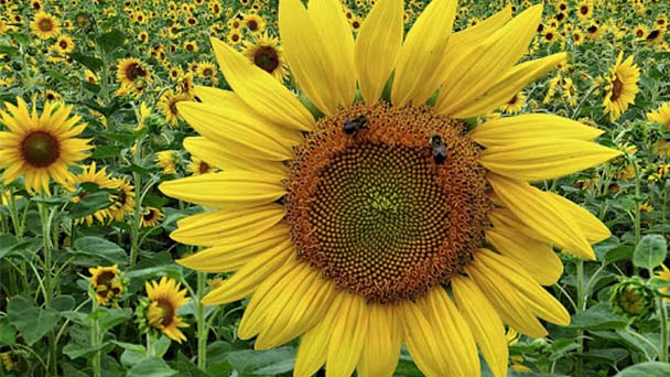 Attentions for growingsunflowers indoors