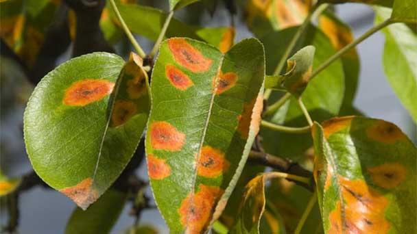 Plant diseases caused by microorganisms
