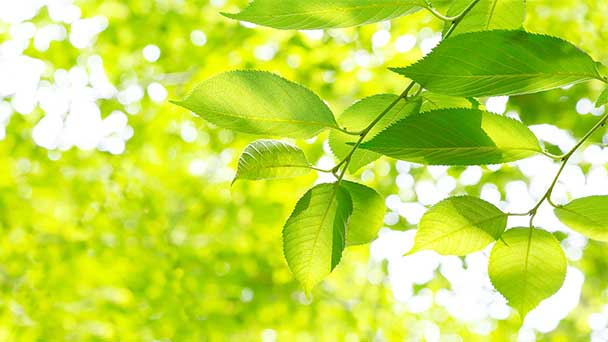 Fast-growing trees for garden