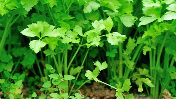 How to grow cilantro?