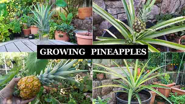 How to plant pineapple in a pot