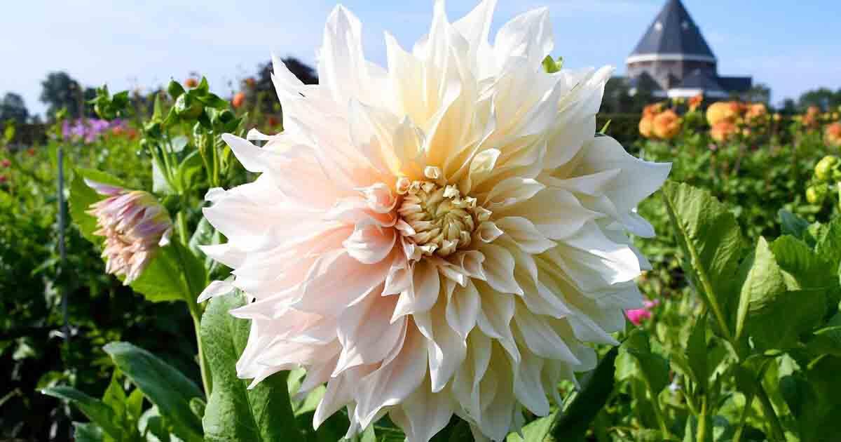 dahlia-flower