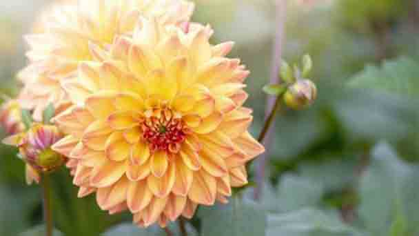 Dahlia flower Profile