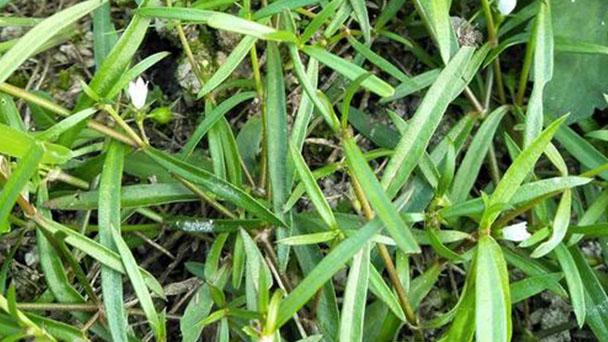 Oldenlandia Diffusa Profile