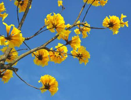Handroanthus chrysanthus breeding methods and precautions