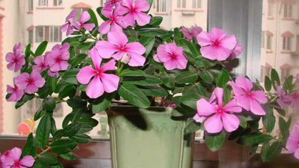 How to grow Catharanthus roseus (L.) Don