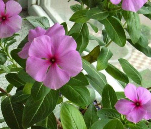 Catharanthus Roseus (L.) Don