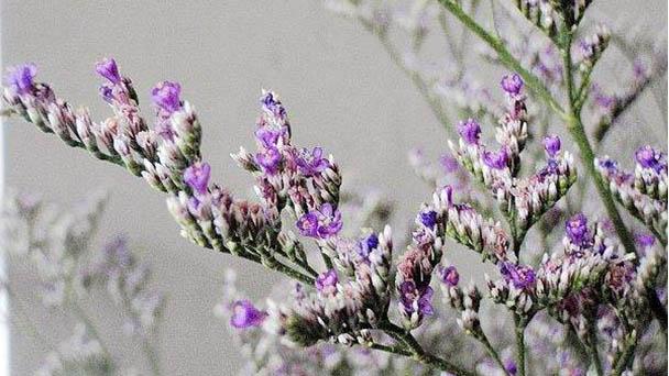 How to grow Codariocalyx motorius (Houtt.) Ohashi