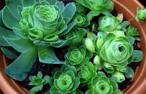Greenovia Dodrantalis
