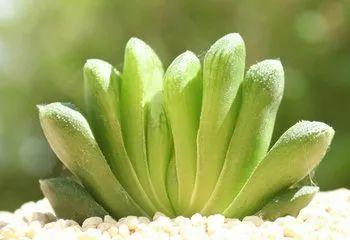 Haworthia Truncata Schonland