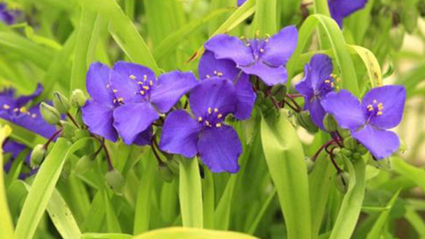 How to grow Tradescantia ohiensisRaf