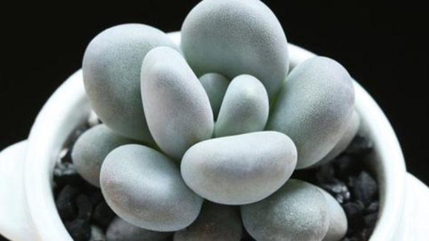 How to grow Pachyphytum oviferum