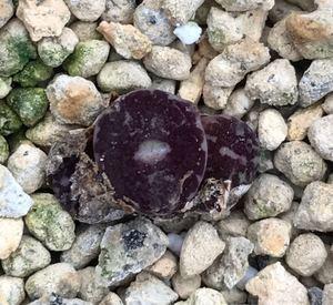 Conophytum minimum wittebergense