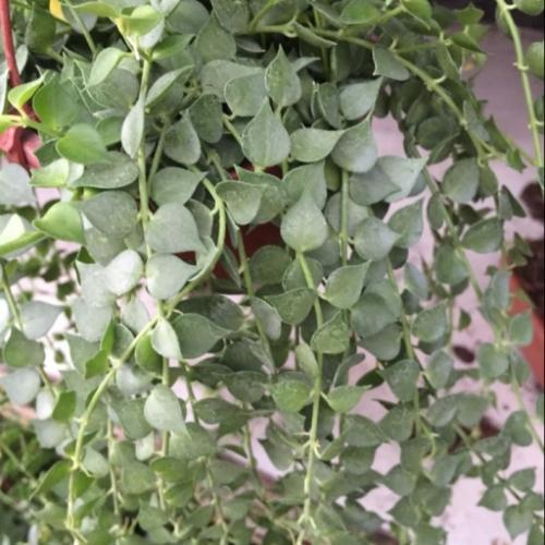 Dischidia chinensis