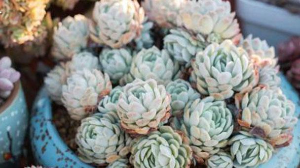 How to grow Echeveria Rasberry ice