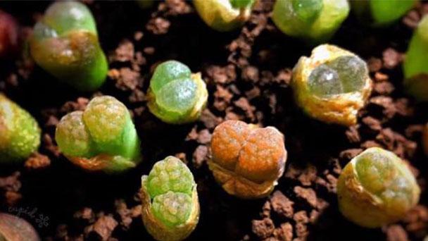 How to grow Ophthalmophyllum friedrichiae