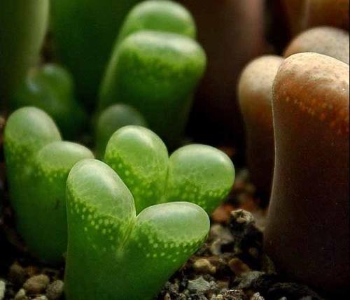Ophthalmophyllum friedrichiae