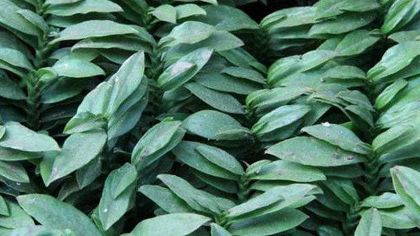 How to grow Pedilanthus tithymaloides cv