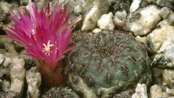 How to grow Sulcorebutia rauschii G. Franck