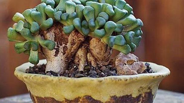 How to grow Aloinopsis schooneesii