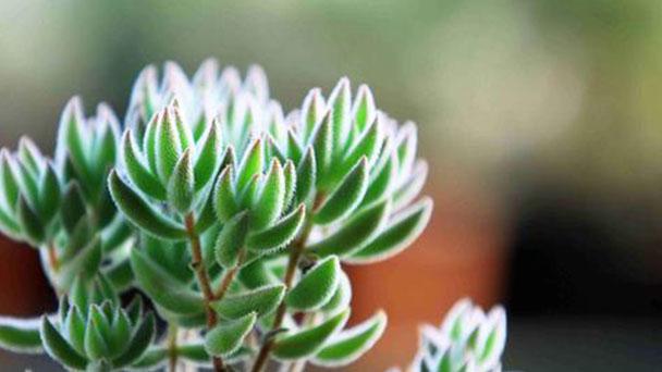 Crassula Mesembryanthoides profile
