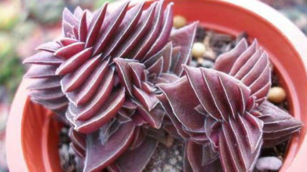 Common plant diseases of Crassula Pagoda Village and controlling methods