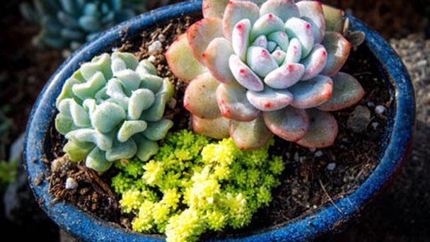 How to grow Echeveria Runyonii in autumn