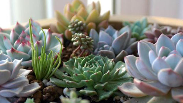How to grow succulent plants in spring