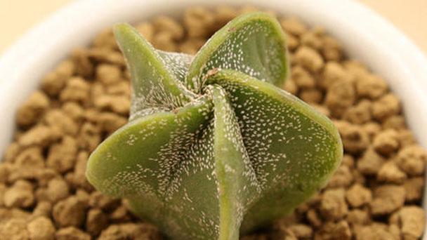 Astrophytum myriostigma profile