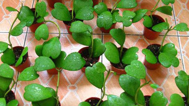 How to grow Hoya kerrii