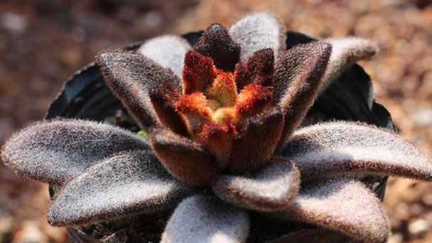 How to grow Kalanchoe tomentosa