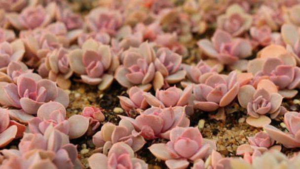 How to grow Perle von Nurnberg