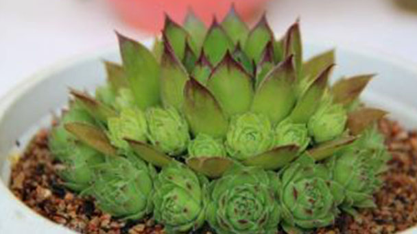 How to grow Sempervivum tectorum
