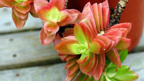 How to grow Crassula fusca