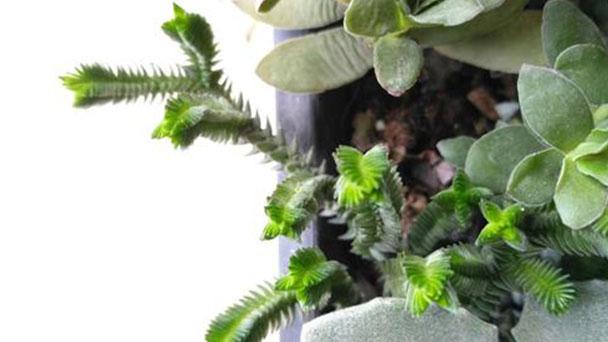 Crassula pyramidalis profile