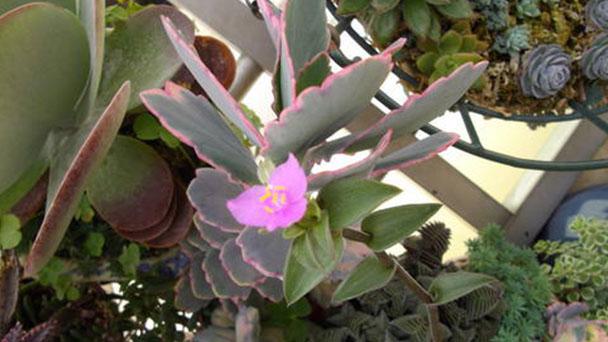 How to grow Tradescantia navicularis