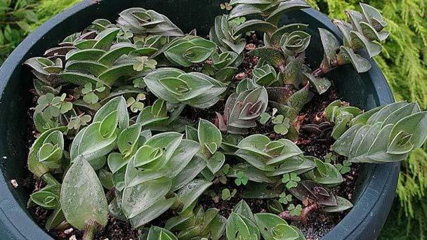 Tradescantia Navicularis profile