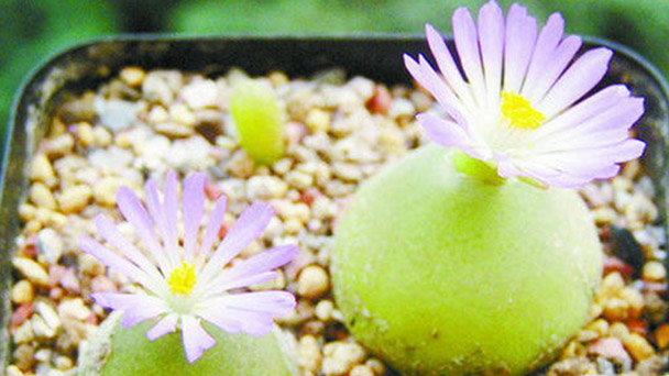 How to grow Conophytumburgeri in summer