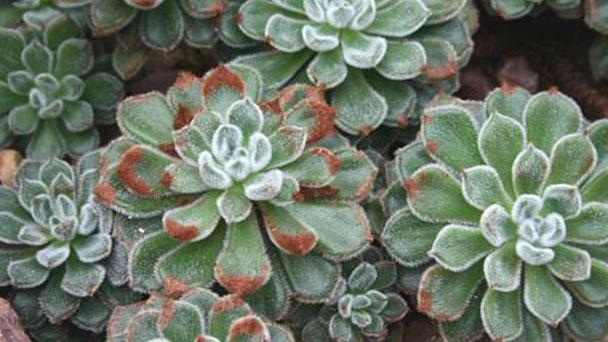 How to grow Echeveria setosa