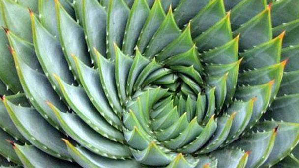 How to grow Aloe polyphylla