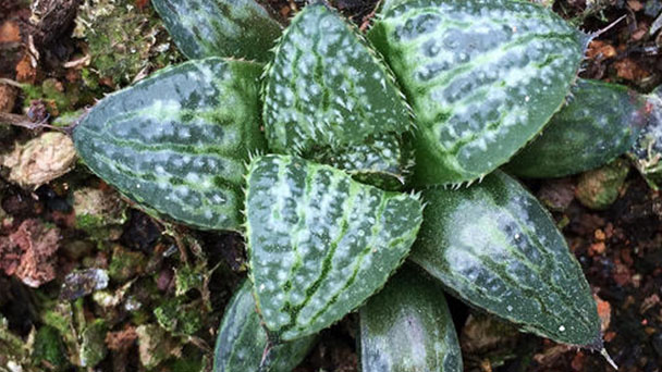How to grow Haworthia Yuki Keshiki