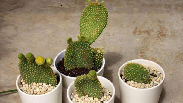 Opuntia Microdasys profile